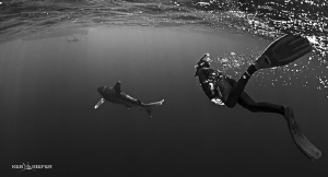 Freediver following an Oceanic Whitetip shark by Ken Kiefer