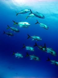A small school of horse eye jacks passing by the wall at ... by Martin Spragg