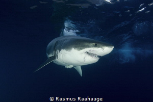 Great White Shark approaching the Cage by Rasmus Raahauge