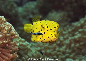 Boxfish juvenile by Hans-Gert Broeder
