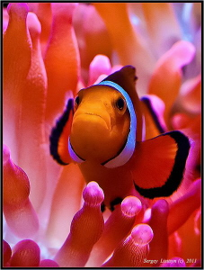 Amphiprion ocellaris. by Sergey Lisitsyn