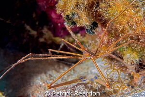 Arrow crab. by Patrick Reardon