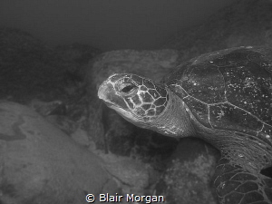 Green Sea Turtle resting at Cook Island, Fingal Head, NSW... by Blair Morgan