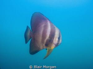 Bat Fish circling me while I was doing my safety stop abo... by Blair Morgan