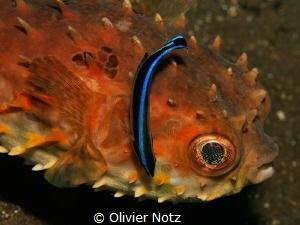 Birdbeak burrfish with a  cleaner fish by Olivier Notz