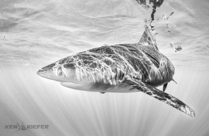 Oceanic Whitetip slicing through the crystal clear waters... by Ken Kiefer
