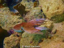 Octopus, Bonaire! by Alison Ranheim
