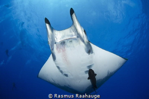 Divers watching mobula fly bye at Princess Alice Bank - A... by Rasmus Raahauge
