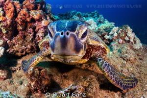 Hawaiian Honu by Stuart Ganz