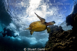 Honu and diver by Stuart Ganz