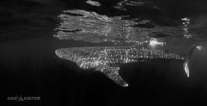 Dark Shark  Whale Shark ramming plankton by Ken Kiefer