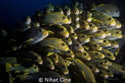 They are all together… (block of sweetlips in a row) in Raja by Nihat Cine