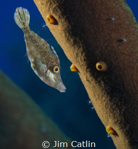 Juvenile filefish hiding amongst rope sponge by Jim Catlin