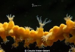 yellow gorgonia super macro by Claudia Weber-Gebert
