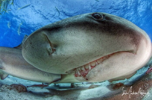 Seeing eye to eye with a friendly Lemon Shark at Tiger Be... by Steven Anderson