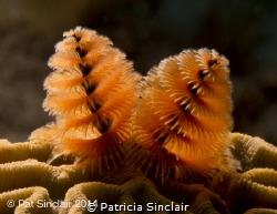 Working on macro and lighting the Christmas tree worms to... by Patricia Sinclair