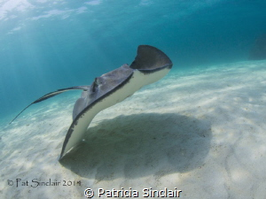 I took this at the Stingray City Deep dive site in a grou... by Patricia Sinclair