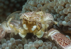 Super close-up of a porcelain crab. Too bad this shows on... by Arno Enzo