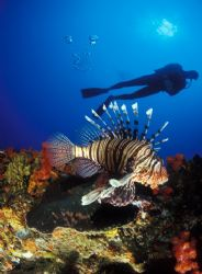 Lion fish and Diver taken in Sodwana Bay Kwazulu Natal So... by Fiona Ayerst
