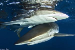 Silky sharks by Mathieu Foulquié