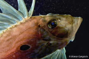 John Dory, night dive,  backlight by Marco Gargiulo