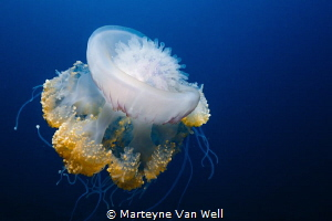 A huge jelly fish passing by by Marteyne Van Well