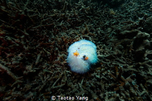 Nemo and sea anemone by Taotao Yang