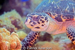 Turtle interrupted while eating a sponge. by Patrick Reardon