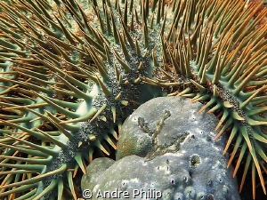 Crown of Thorns and the result of her deadly work:  kille... by Andre Philip