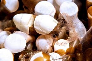Hamopontonia corallicola. A master of camouflage. by Mehmet Salih Bilal