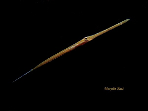 5 inch juvinal needle fish during night dive, Dumaguete, ... by Marylin Batt