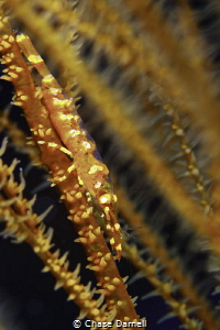 Wire Coral Shrimp West Side, Grand Cayman  by Chase Darnell
