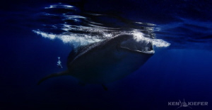 Whale Shark Feeding