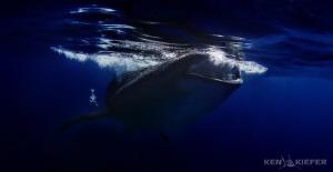 Whale Shark Feeding Isla Mujeres, Mexico Canon 5D3 by Ken Kiefer