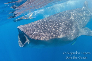 Whale Shark and snorkel by Alejandro Topete