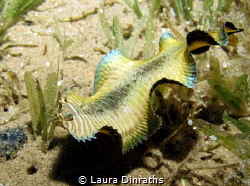 Banded sole(Soleichthys heterorhinos)undulating over seag... by Laura Dinraths