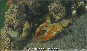 Crayfish by Philippe Brunner