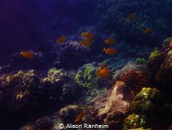 Tang Fish... island of Lanai, Hawaii. by Alison Ranheim