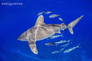 Really large Oceanic Whitetip with an equally large 'poss... by Ken Kiefer