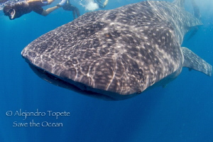 Whaleshark with diver by Alejandro Topete