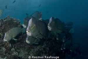 Bumphead Parrotfish by Rasmus Raahauge