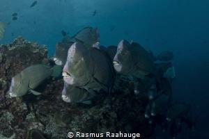 Bumphead Parrotfish by Rasmus Raahauge