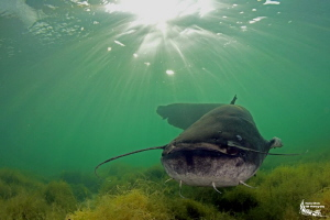 Wels Catfish :-D by Daniel Strub
