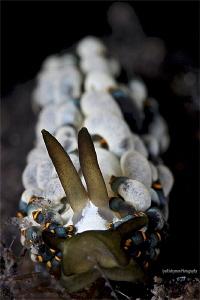 Trinchesia yamasui [Cuthona] by Iyad Suleyman