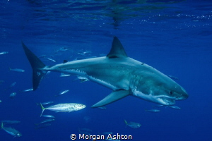 Guadalupe White Shark by Morgan Ashton