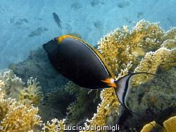 Surgeonfish by Lucio Valgimigli
