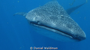 Whale Shark picture taken with Canon G15 with Fantasea Ho... by Daniel Waldman