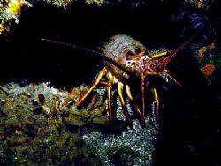 Spiny Lobster, La Jolla Cove, CA. by Dallas Poore