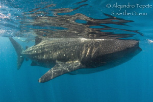 Whaleshark in surface by Alejandro Topete