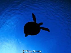 Three legged turtle by Tina Norris